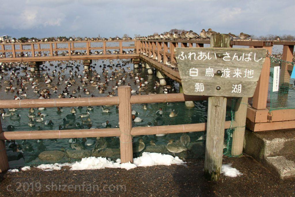 1月中旬の新潟・瓢湖