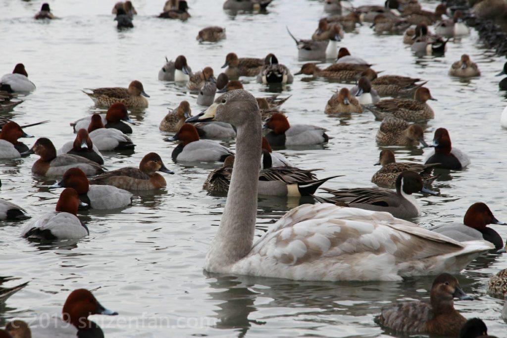 1月中旬の新潟・瓢湖にて、子どものハクチョウ