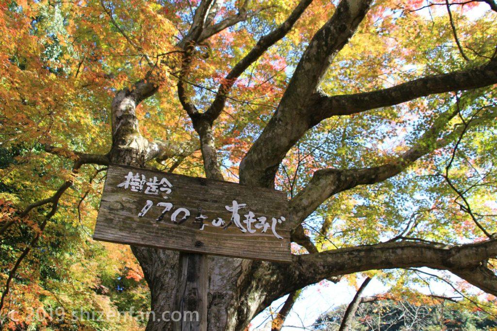 武雄・御船山楽園の樹齢170年の大モミジ