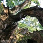 佐賀武雄・塚崎の大楠、幹の中から上を見上げた様子