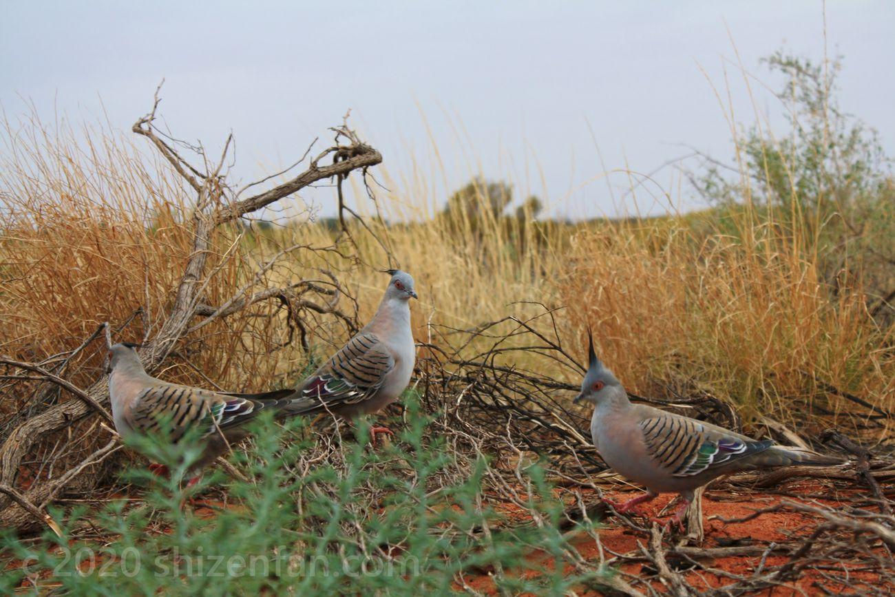3羽のCrested Pigeon(レンジャクバト)