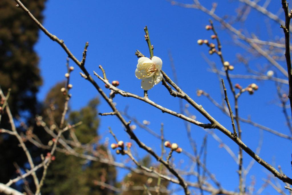 春を待つ2月上旬の梅