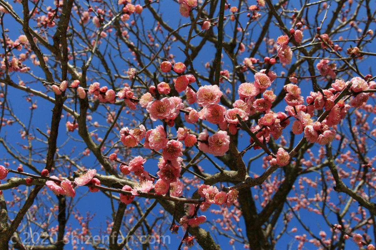 満開の梅の花(太宰府天満宮)