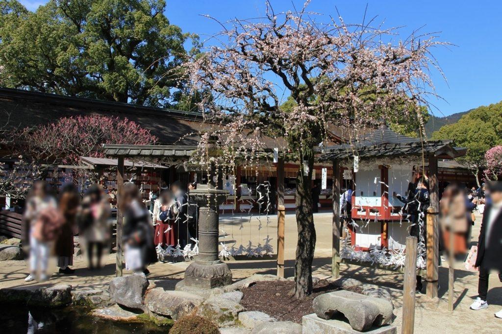 太宰府天満宮楼門側の梅の木