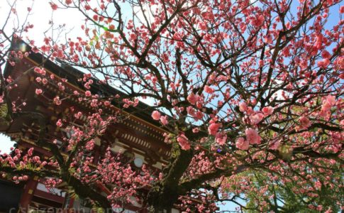 大宰府天満宮の楼門と梅の花