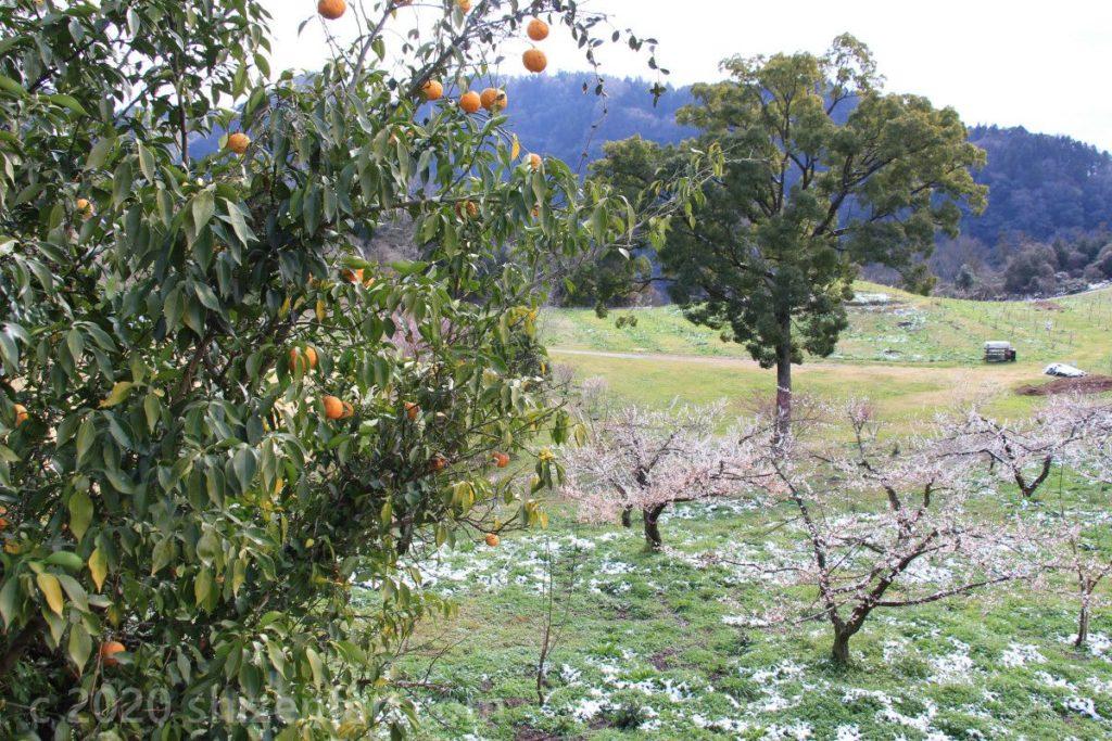 日田大山おおくぼ台梅園と柑橘の木