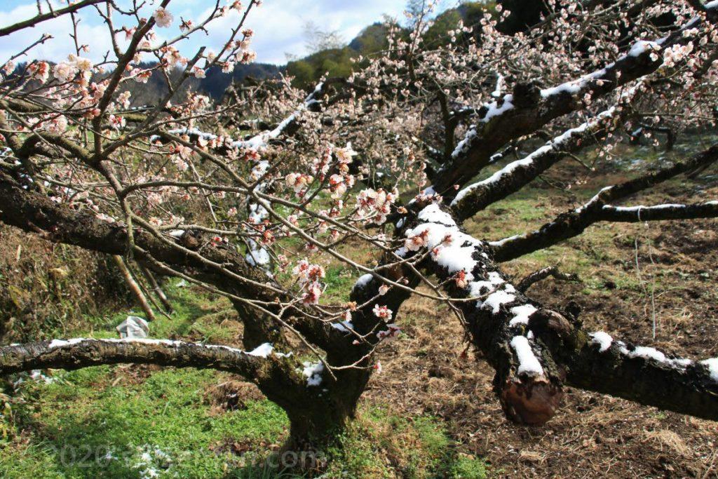 日田大山おおくぼ台梅園、枝に雪の積もった梅の木