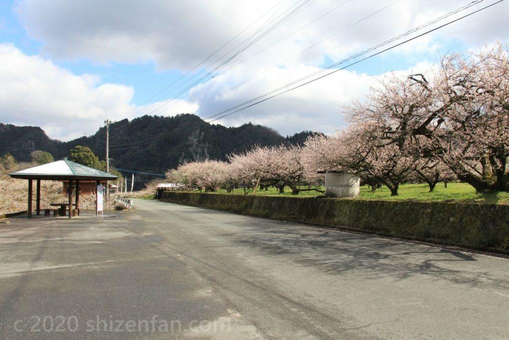 日田大山おおくぼ台梅園、道路沿いの梅並木