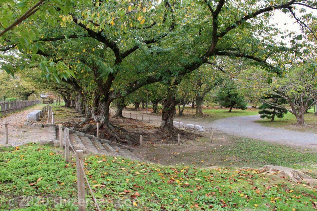 福岡城址・本丸の並木