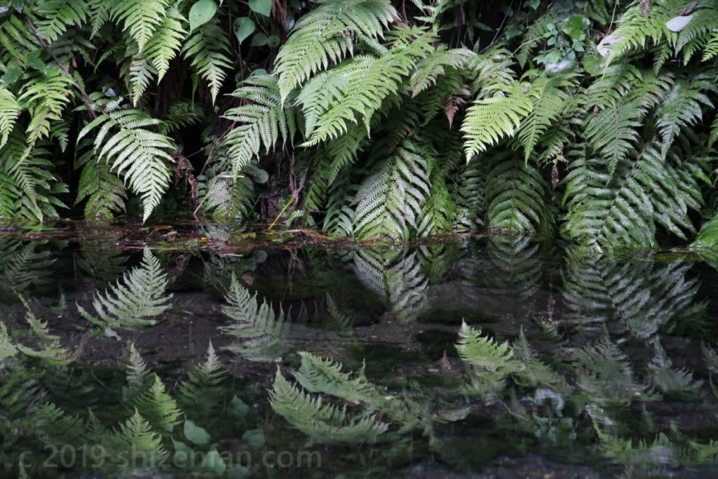 白川水源の水面に映るシダ