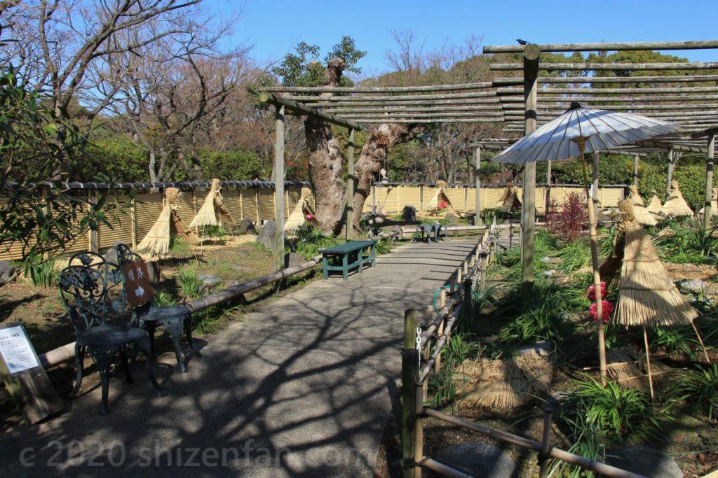 冬ぼたん開花中の筥崎宮花庭園、園内の遊歩道(福岡市東区)