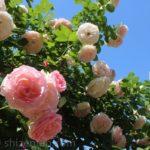 青空と駕与丁公園のバラ(5月)