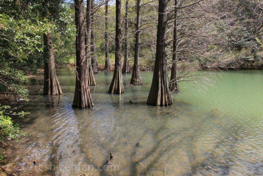 2020年4月5日の篠栗九大の森・水辺の森(ラクウショウ、ヌマスギ)