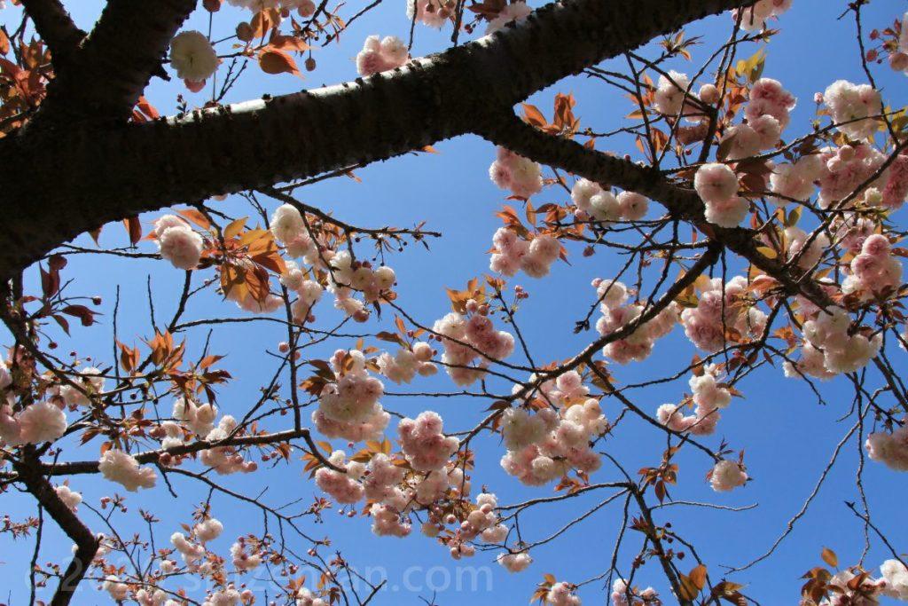 駕与丁公園で4月中旬に見られる八重桜