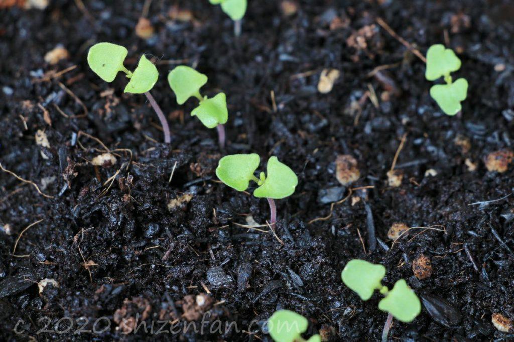 ダイソーの花の種・ラベンダーの芽(種まきから約2週間)