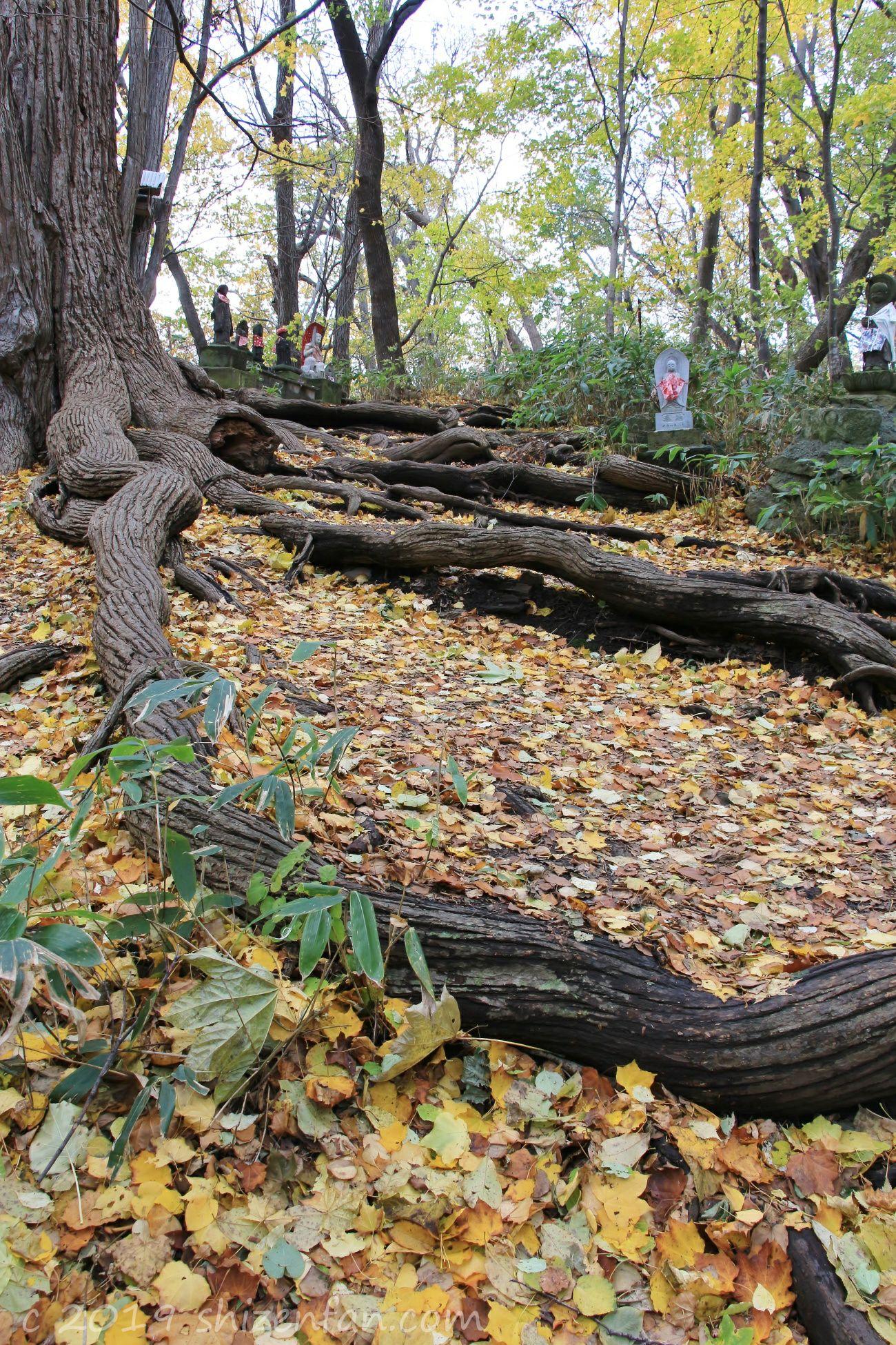 秋の札幌円山原始林、登山道の落ち葉と木の根