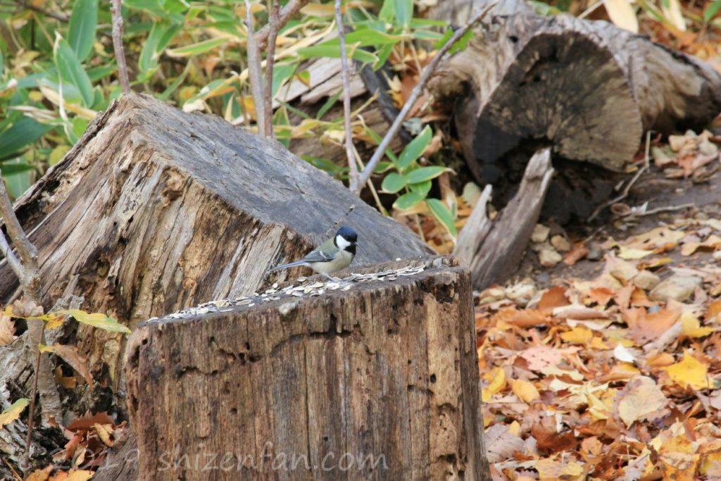 秋の札幌円山原始林、切り株の上のシジュウカラ