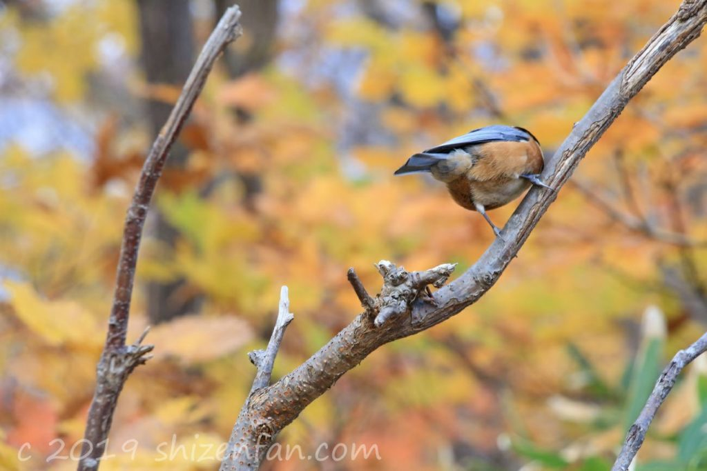 秋の札幌円山原始林、木の枝にとまるヤマガラのおしり