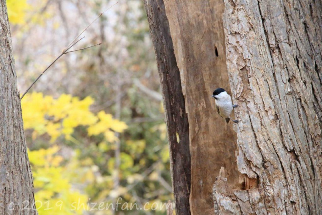 秋の札幌円山原始林、木の幹にとまる小鳥