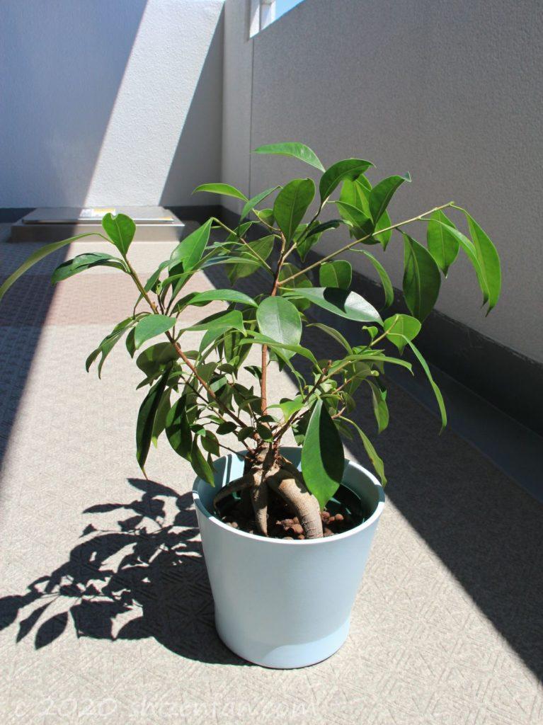 ハイドロカルチャー栽培のガジュマル