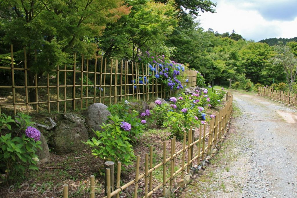 呑山観音寺・七福神堂周辺の小道に咲く紫陽花