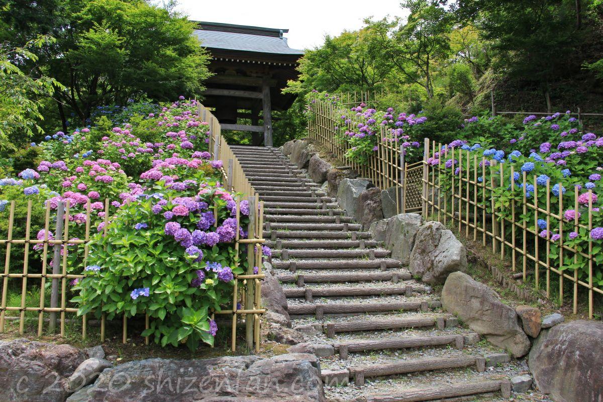 呑山観音寺・鐘楼堂前の階段と紫陽花
