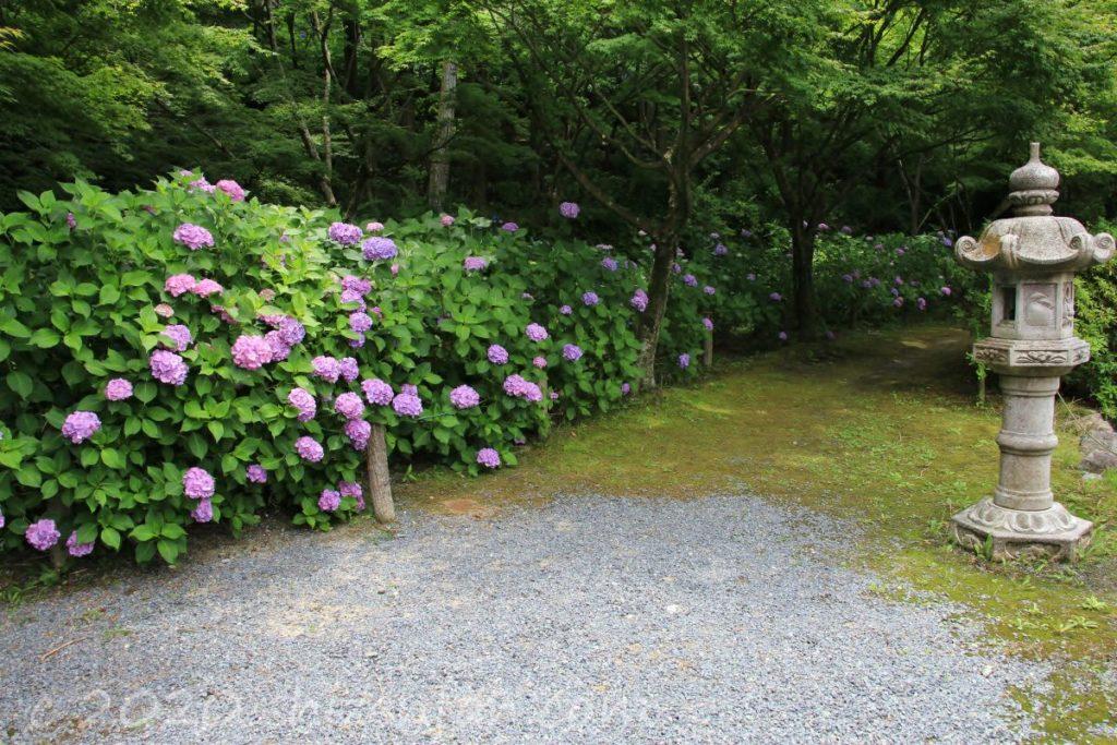 呑山観音寺・六地蔵池横の紫陽花