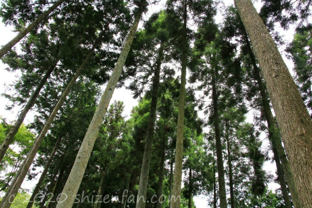 呑山観音寺・あじさい苑内の杉の木を見上げた様子