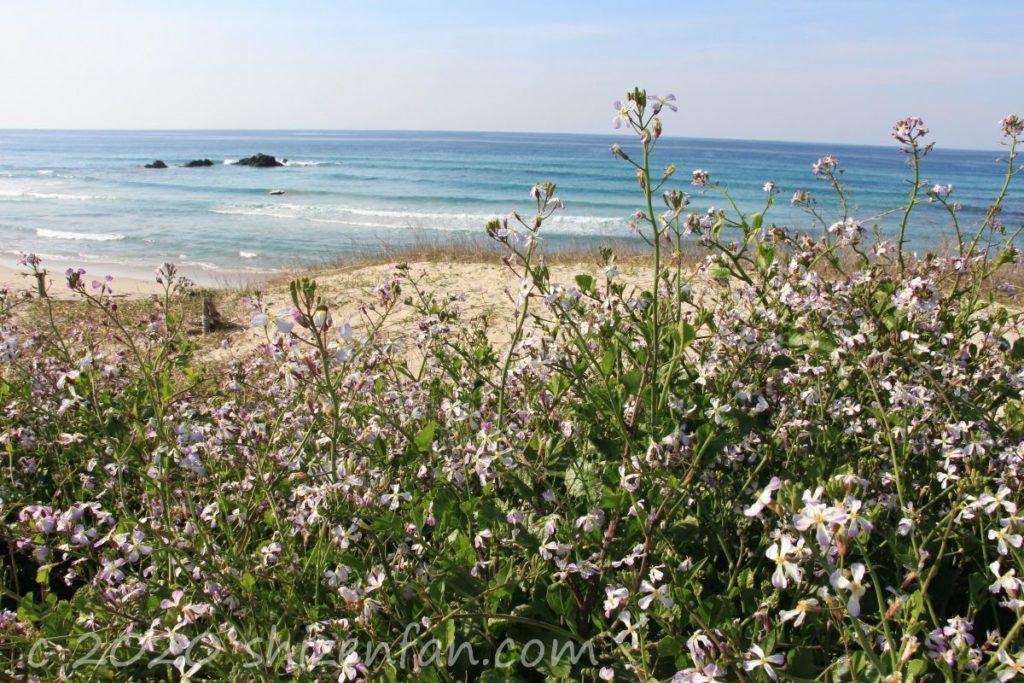 角島コバルトブルービーチに咲く花