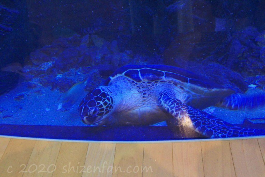 ベイサイドプレイス博多C館のアクアリウムのウミガメ