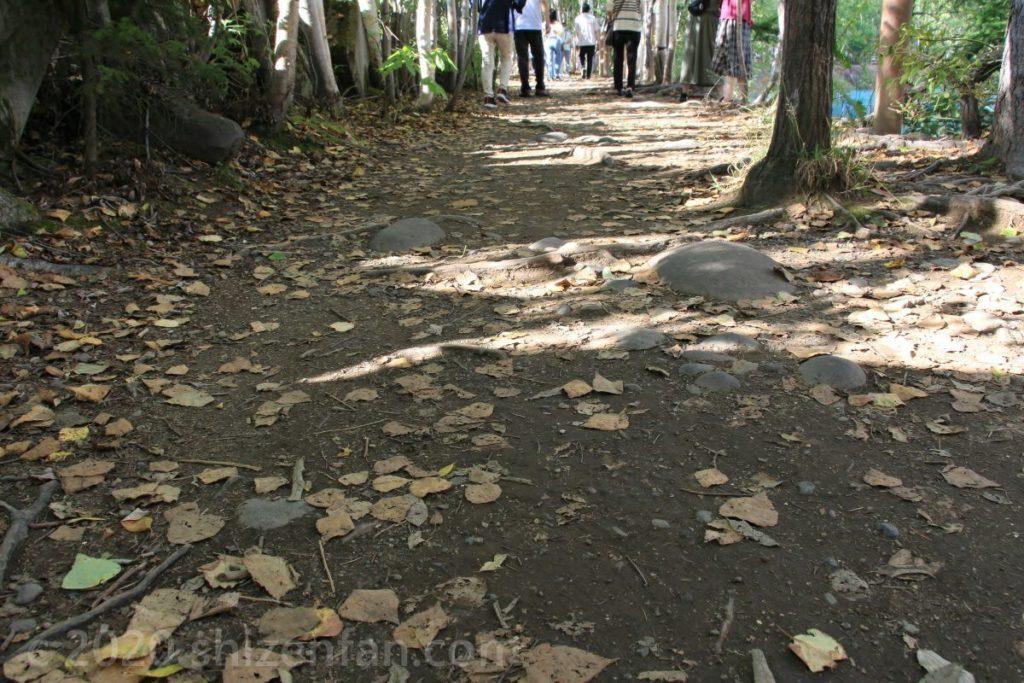 美瑛・青い池の遊歩道の様子