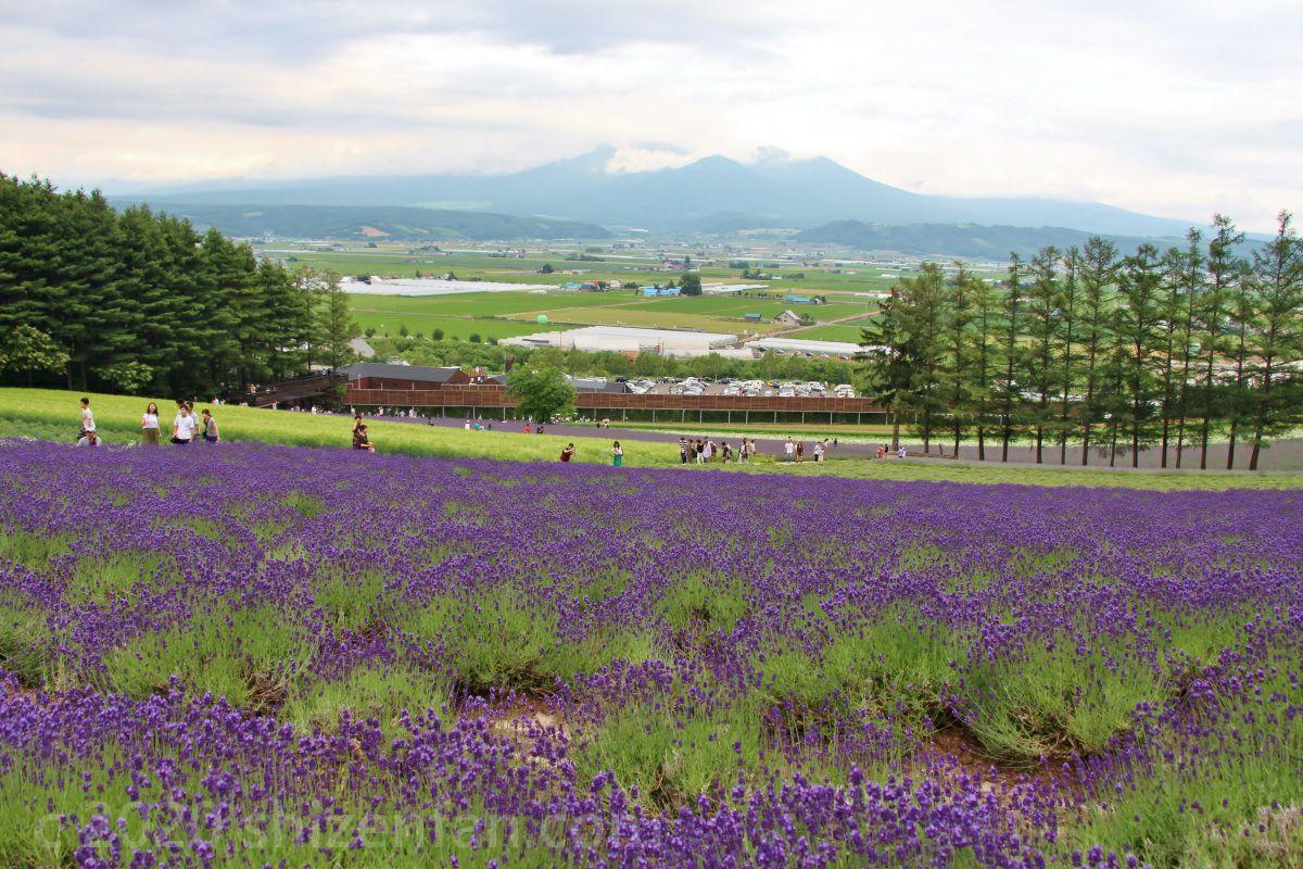 「ファーム富田」のラベンダー畑と富良野の山々