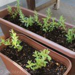 ダイソーのラベンダー、種まきから4ヶ月後の様子(ベランダ栽培)