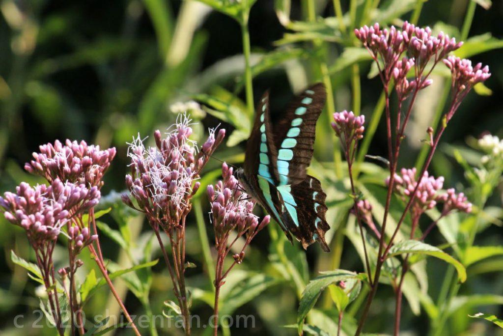 ピンクの花に止まるエメラルドグリーンの蝶