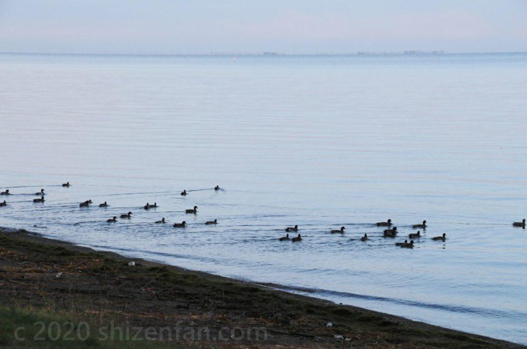 彦根・松原水泳場の湖岸から離れていくカモたち