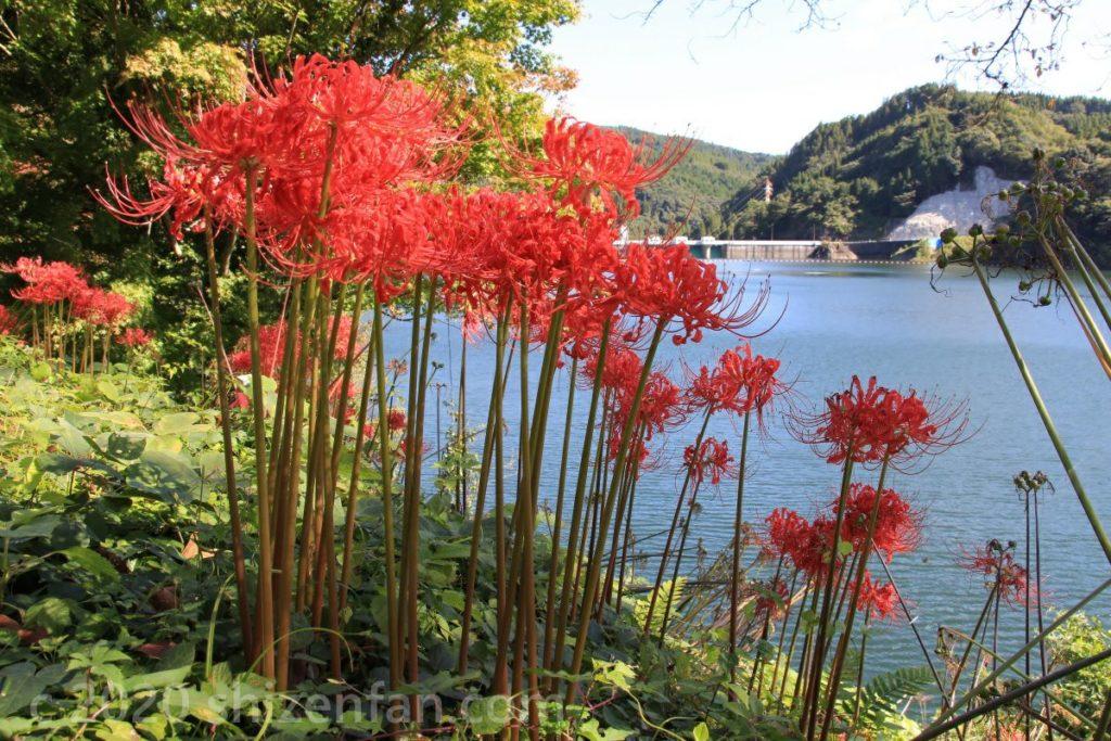 松原ダム(梅林湖)展望台横に咲く彼岸花