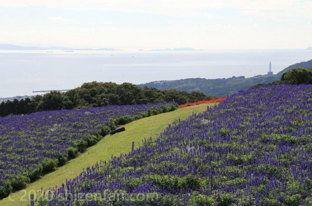 あわじ花さじきのブルーサルビア畑と海