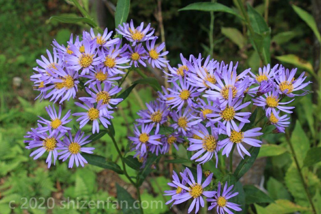 シオンの花(六甲高山植物園)