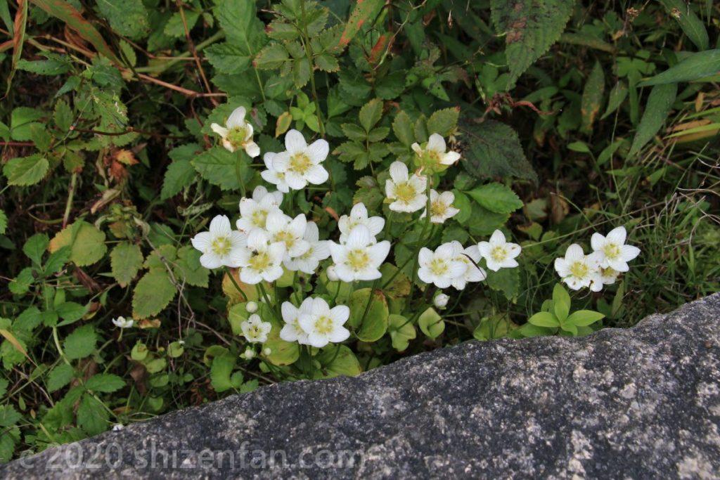 岩陰に咲くウメバチソウ(六甲高山植物園)