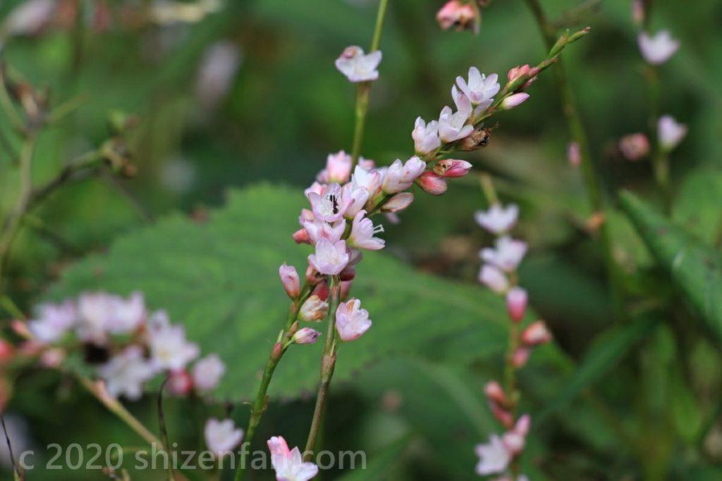 六甲高山植物園の薄ピンクの花