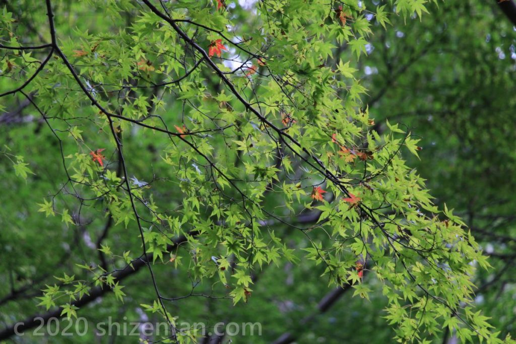 ちらほらと赤い葉の混じったモミジの木の枝