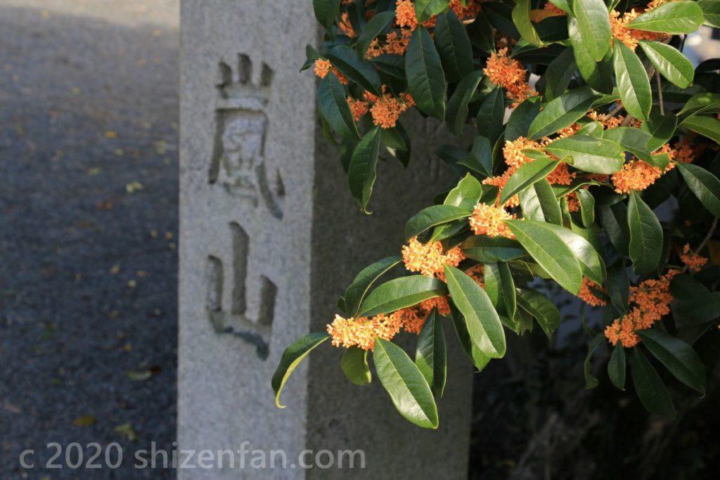 京都嵐山のキンモクセイ