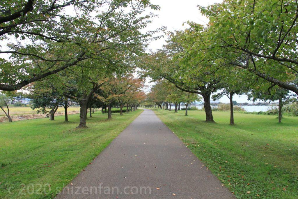 木場潟公園の桜並木(初秋)
