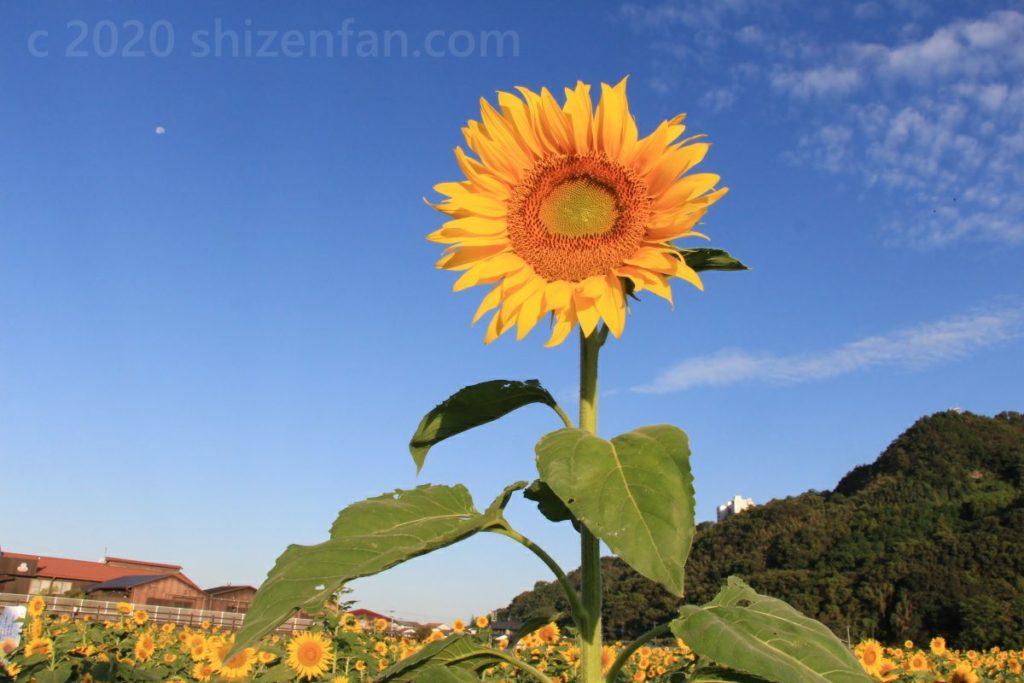 青空を背景に力強く咲く一輪のひまわり