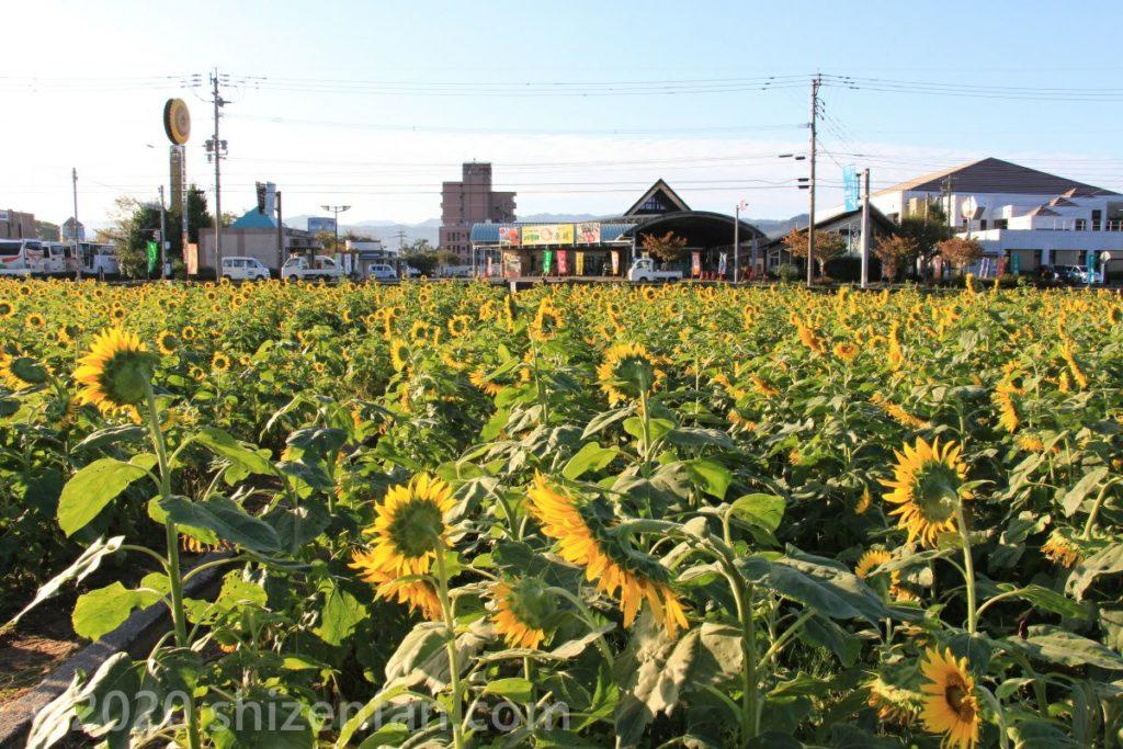 「道の駅 原鶴」のひまわり畑