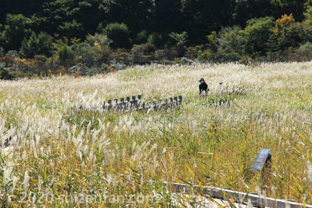 くじゅう・タデ原湿原のススキ野原の遊歩道を歩く人