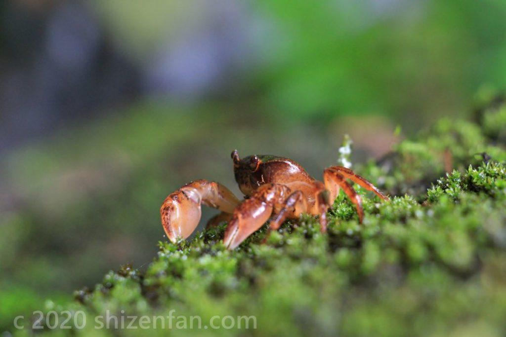 苔の上の赤いカニ