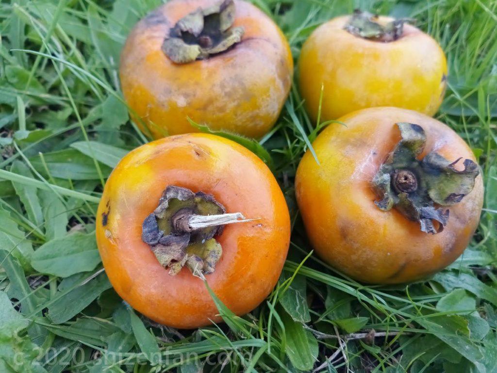 草の上に置かれた4つの柿