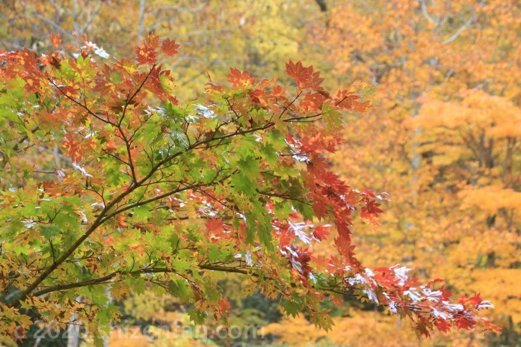 緑と赤が入り混じったモミジの枝