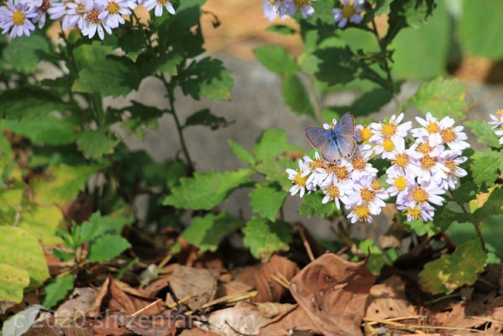薄紫色の野菊と青い蝶